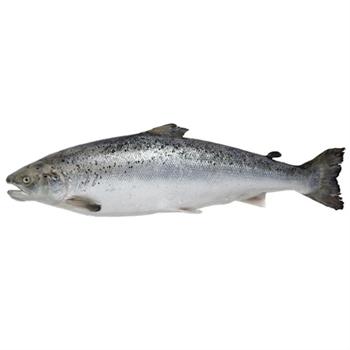 ماهی قزل آلای تازه شکم خالی